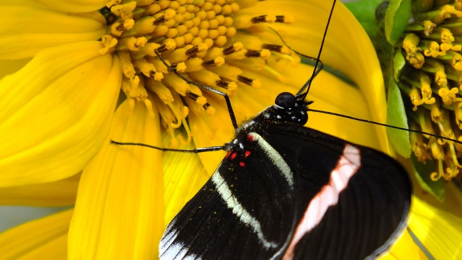 Heliconius butterfly. Image: Nature - Melanie Brien