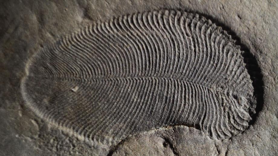 Dickinsonia fossil. Image credit: ANU