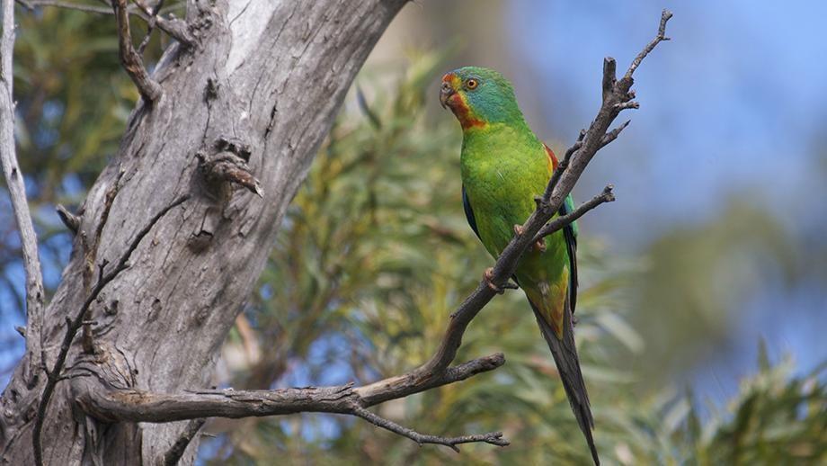 Female swift parrot