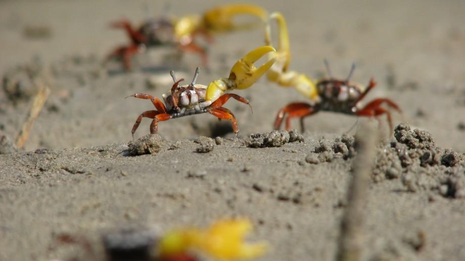 Male fiddler crabs