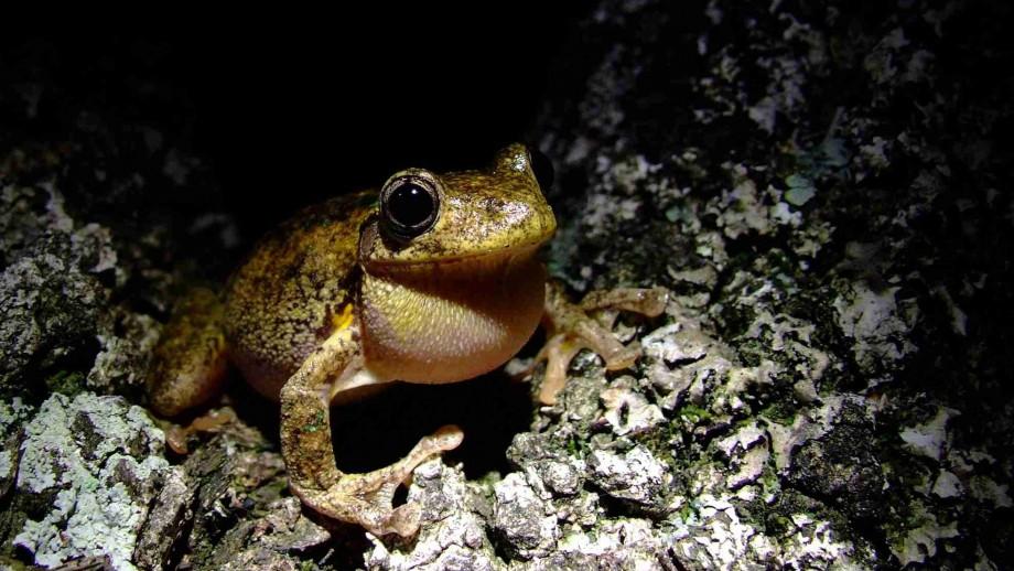 Peron's tree frog. Image: Martin Westgate.