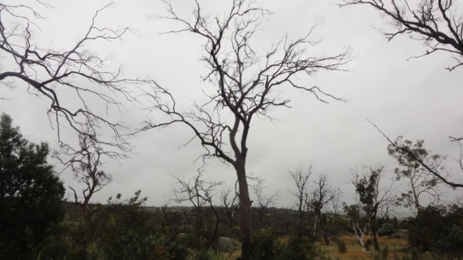 Dieback in a nearby area that has been grazed and part of a researve without other major disturbance. Photo by Catherine Ross.
