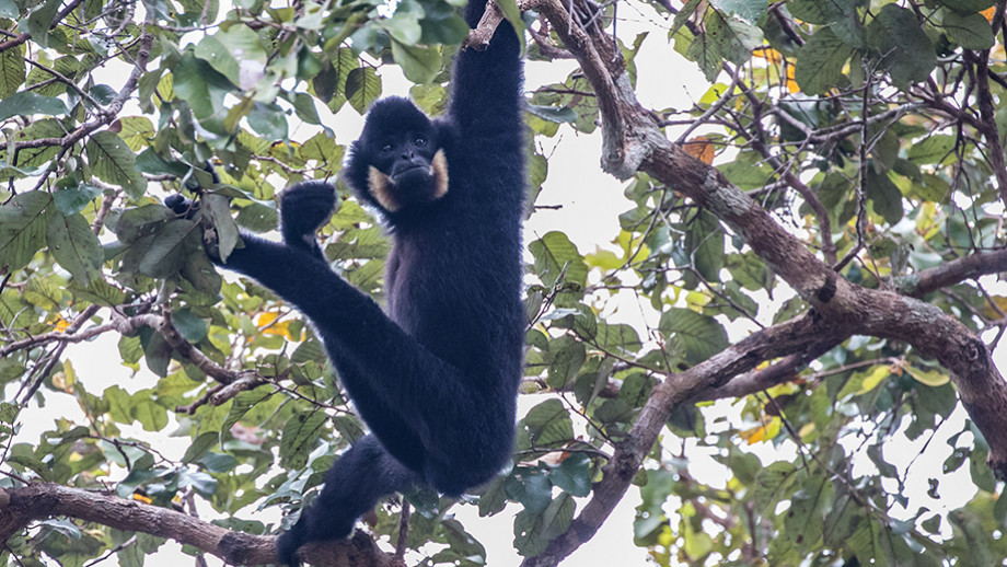 Yellow-cheeked crested gibbon. Image: Peter Williams