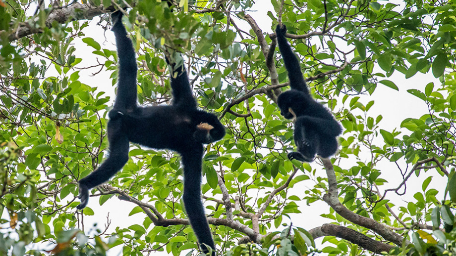 Yellow-cheeked crested gibbons, Veun Sai-Siem Pang National Park, Cambodia. Image: Peter Williams
