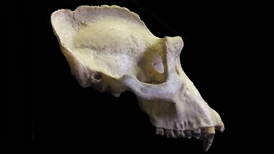 The sagittal crest can be seen running along the top of this male gorilla skull. Image: ANU.