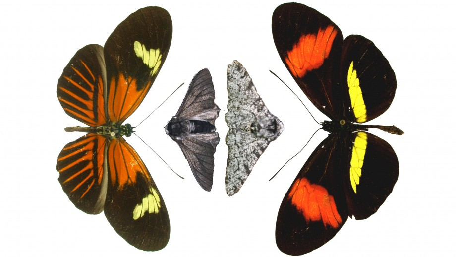 Genetic variations in the peppered moth and the Heliconius butterfly. Image Nature: Nicola Nadeau