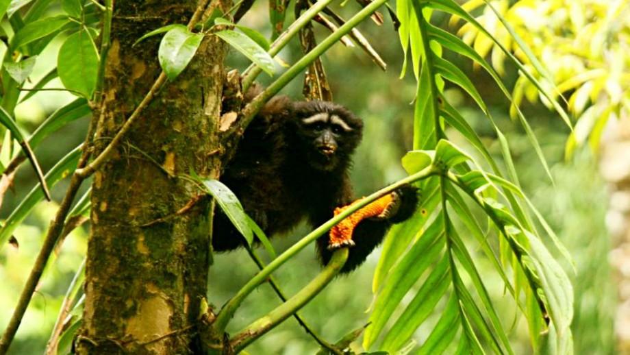 The new gibbon species Hoolock tianxing. Image: ANU.