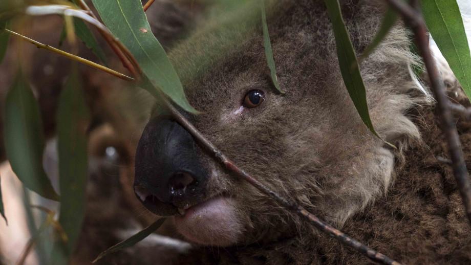 Ian the koala