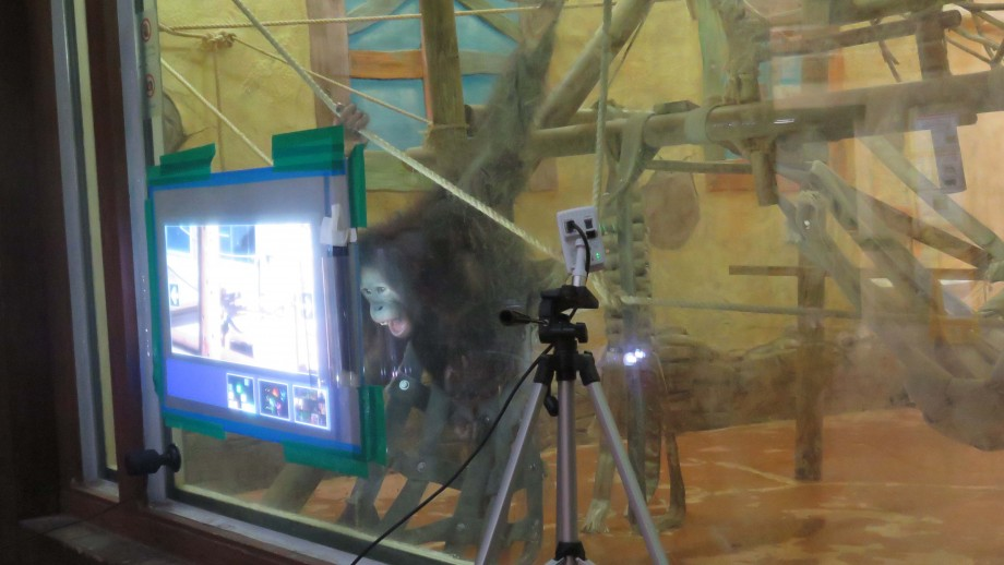 One of the orangutan's from the research project using the touch-screen technology. Image: Nicky Kim-McCormack, ANU.