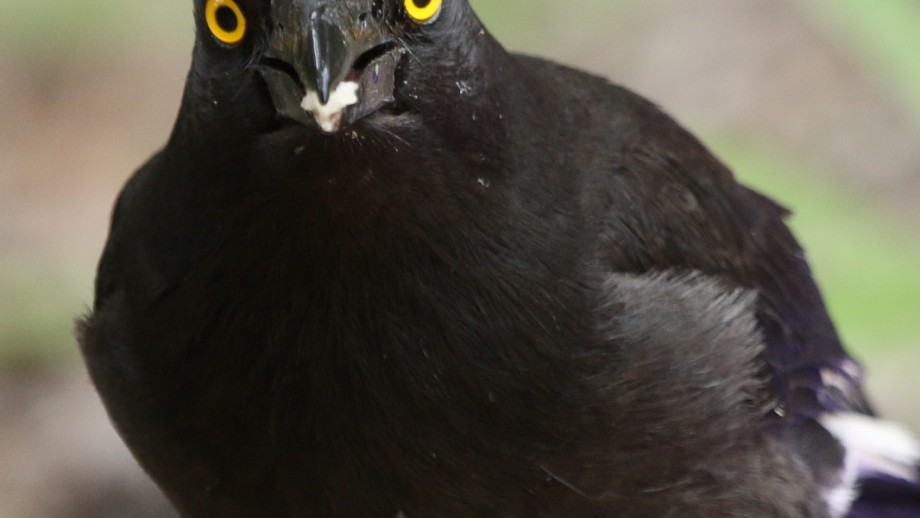 The Pied currawong will feed two kilograms of nestlings to its young. Image B Igic.