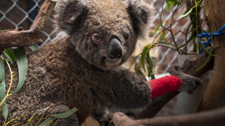 One of the rescued koalas receiving care at ANU. Photo: Lannon Harley