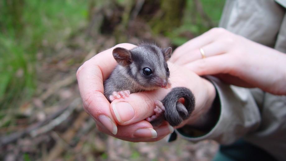 Leadbeater's Possum. Image: Dave Harley, ANU.