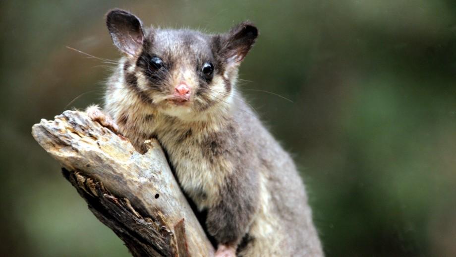 Leadbeater's possum. Image Takver on Flickr