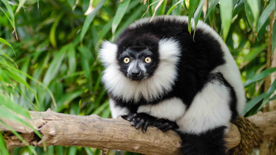 Animals with few close relatives include the lemur in Madagascar. Image: Mathias Appel, Flickr