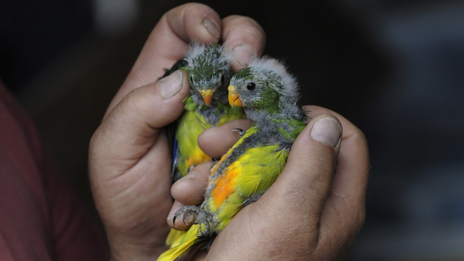 Image: Mar Holdsworth and Friends of the orange bellied parrot.