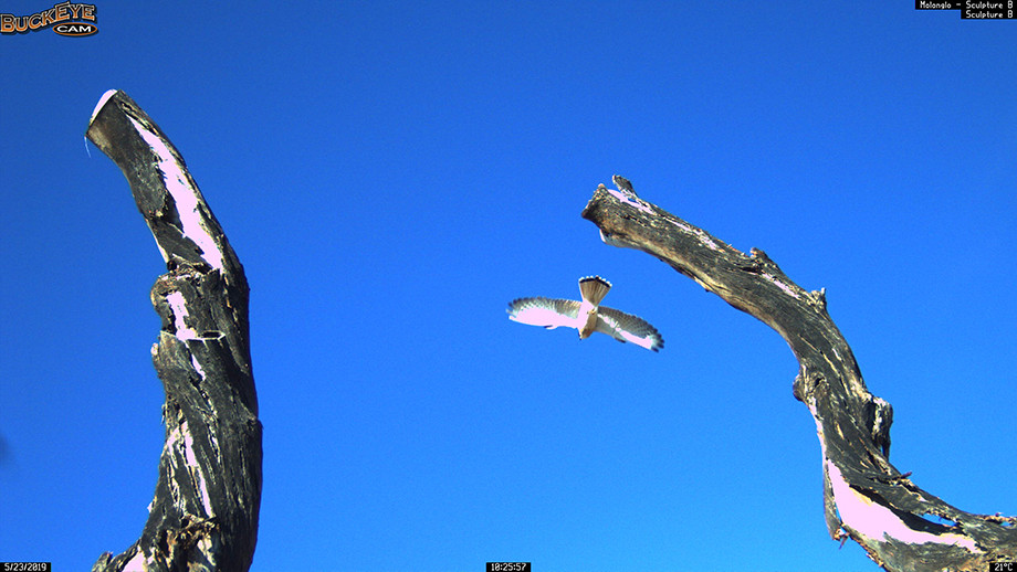 Nankeen Kestrel. Image: Molonglo Life