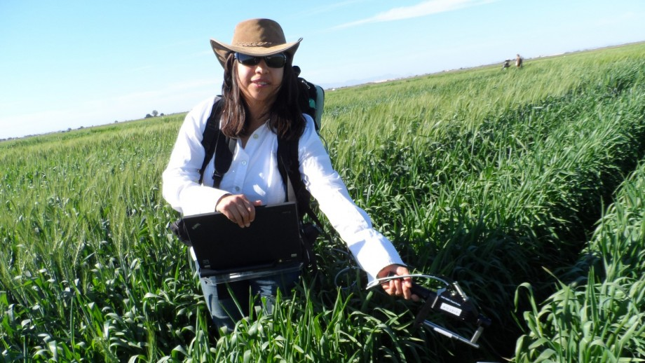 PhD student Viridiana Silva Perez measuring photosynthesis on a wheat crop using light reflected from leaves. Credit: John Evans/CoETP