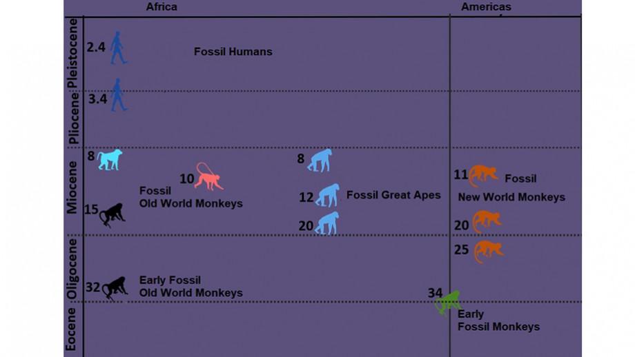Primate evolution timeline. Image: ANU