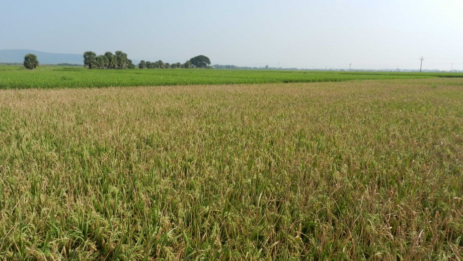 Diseased rice crop (foreground) with healthy rice behind. Image: Dr Ramesh Sonti