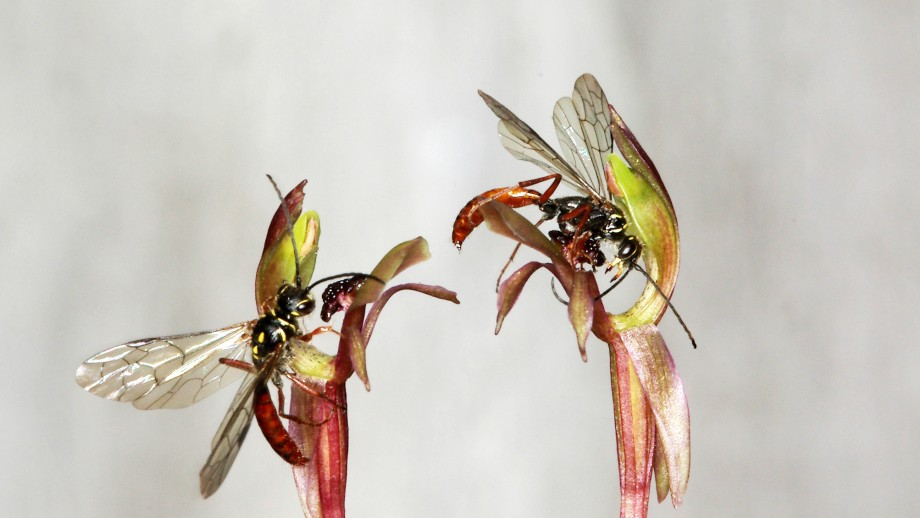 Broad lipped bird orchid with its male pollinator N. cryptoides.  Image: Rod Peakall, ANU