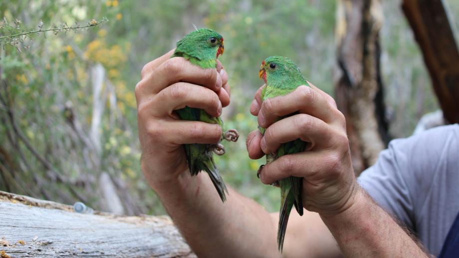 Swift parrots. Image: Kate Prestt.