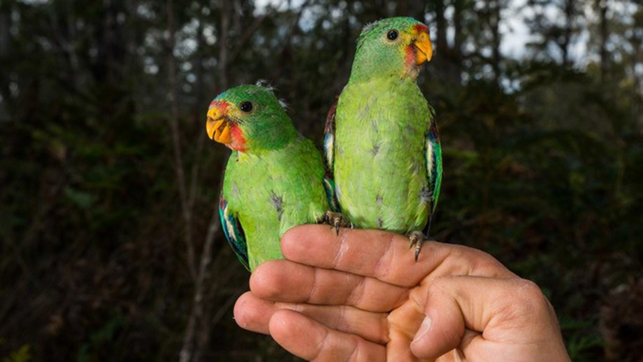 Swift parrot nestlings. Image by Henry Cook.