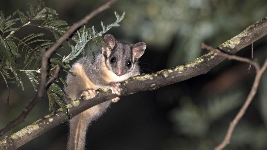 Leadbeater's possum. Image credit: Tim Bawden, ANU