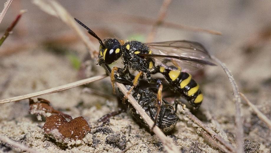 Cerceris arenaria wasp. Image: Nigel Jones, flickr.