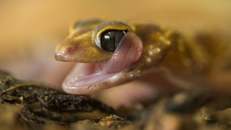 The Underwoodisaurus gecko has a clear scale over its eye to prevent water loss; but it can't blink, so it licks its eye clean