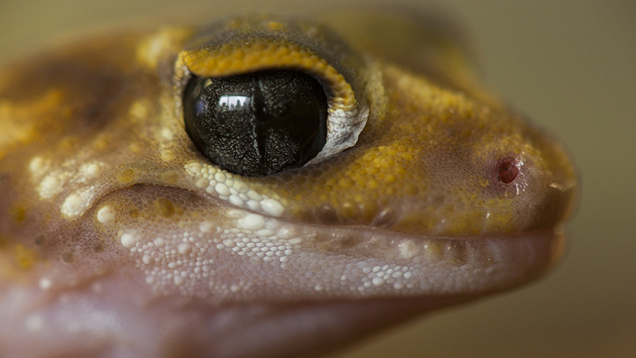 Many desert geckos also have strategies and attributes to avoid water loss, such as having relatively rugged skin and scales