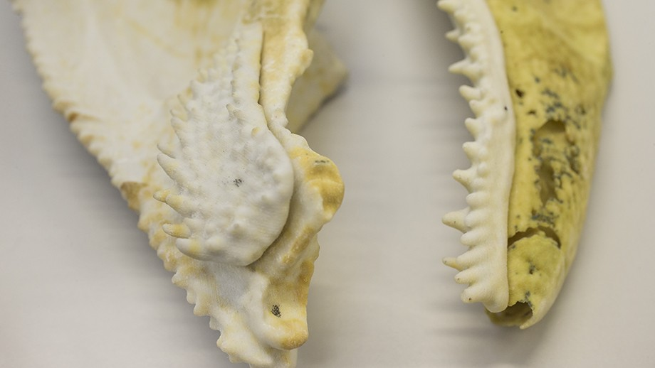 An enlarged 3D print of the jaw and tooth-like denticles from the ancient fish fossil