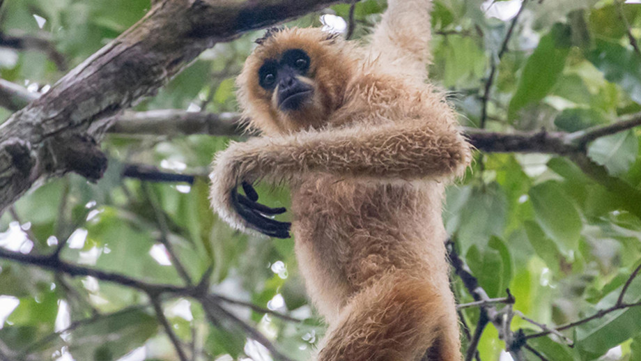 Female yellow-cheeked crested gibbon, Veun Sai-Siem Pang National Park Cambodia. Image: Peter Williams