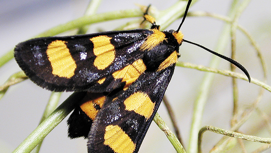 """Mimetic Whistling Moth, Hecatesia sp.""""amata"""". Image: Michael Braby"""