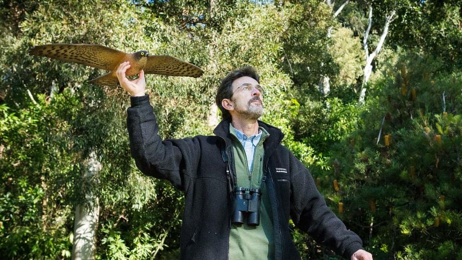 Professor Rob Magrath with hawk model. Image Stuart Hay, ANU