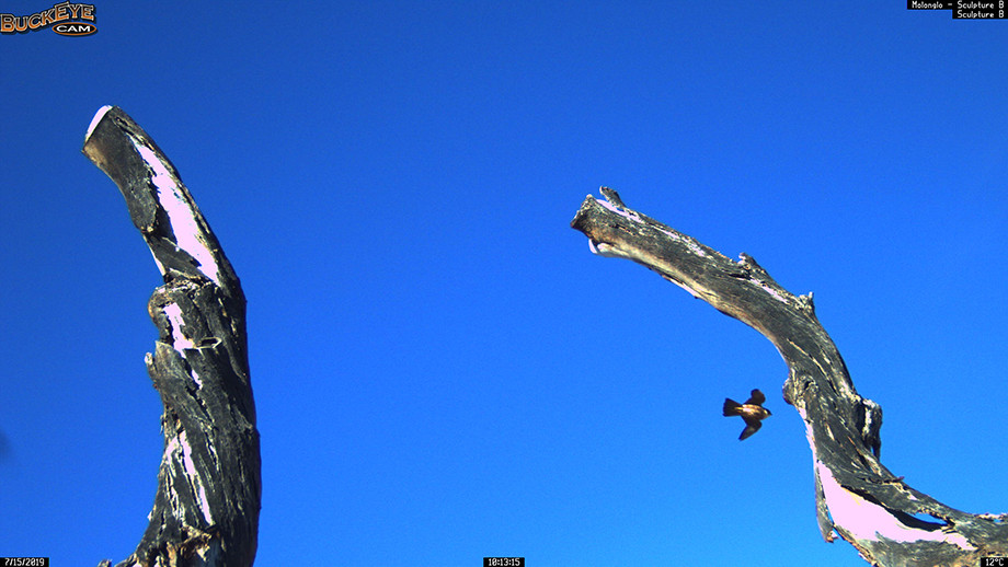 Peregrine Falcon. Image: Molonglo Life