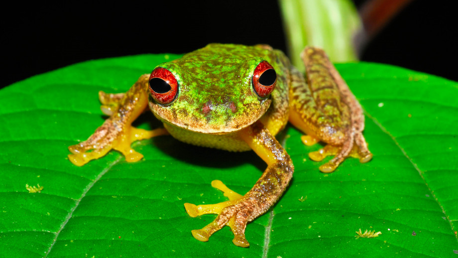 This Mossy Red-eyed Frog (Duellmanohyla soralia) is one of hundreds of species negatively impacted by chytrid fungus and now threatened with extinction. Credit: Jonathan E. Kolby, Honduras Amphibian Rescue & Conservation Center