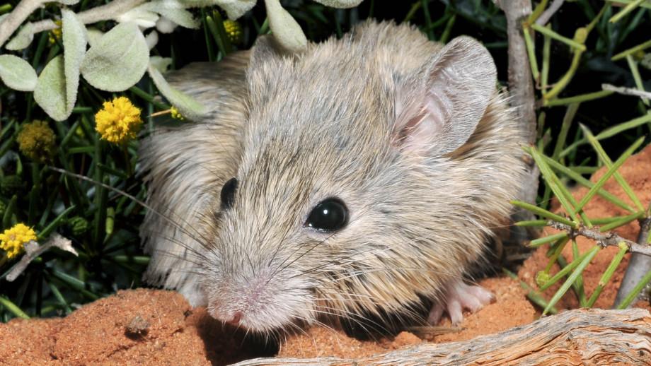 Pseudomys fieldi (Shark Bay mouse). Source: Australian Wildlife Conservancy. Photographer: Wayne Lawler