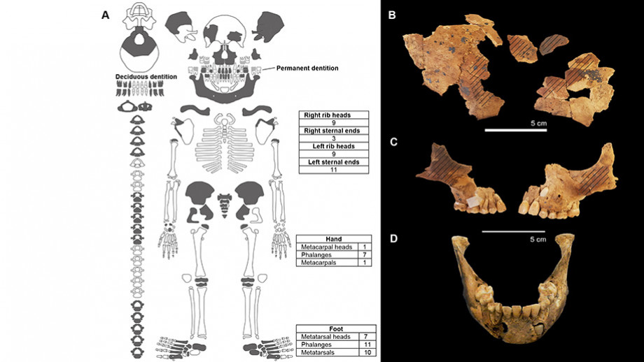 Skeletal elements in dark grey documented from burial (l) and (r) reconstruction of sub-adult frontal bone. Diagonal lines indicate location of ochre pigmentation. Image: Dr Sofia Samper Carro, ANU