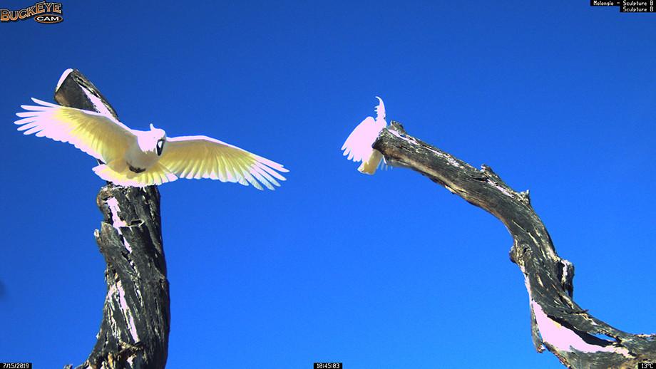 Sulphur Crested Cockatoo. Image: Molonglo Life