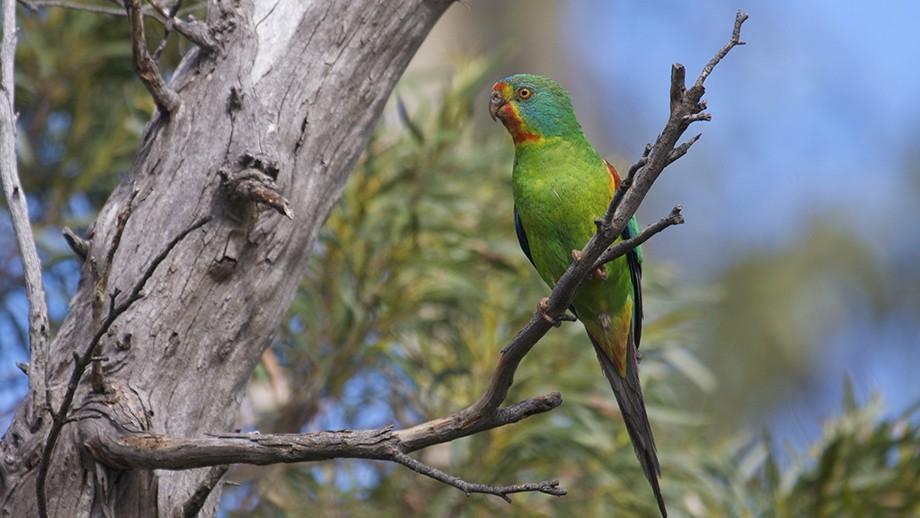 Swift parrot female. Image: Dejan Stojanovic.